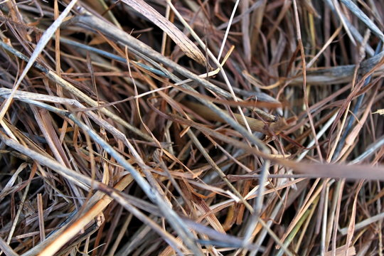 The pressed dry, last year's grass.