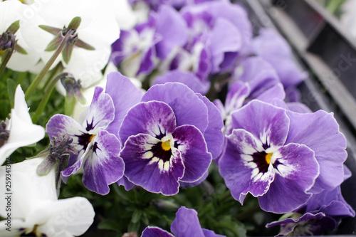 Viola Flowers Pansies Violets Floral Pattern Flowers Background