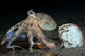 Incredible Underwater World - Coconut octopus - Amphioctopus marginatus. Diving and underwater photography. Tulamben, Bali, Indonesia.