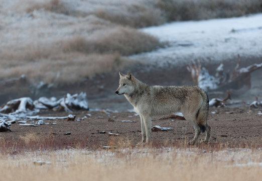 Wild Grey Wolf in Yellowstone National park, Wyoming USa