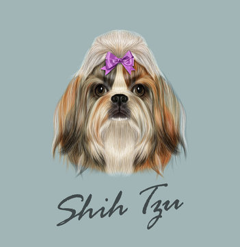 Shih Tzu dog animal cute face. Vector funny Chinese purebred Shih tzu puppy head portrait. Realistic fur portrait of gold and white young Shih tzu doggy isolated on gray background.