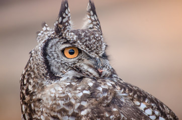 A closeup of an African spotted owl (Africanus Bubo) staring intently into the distance