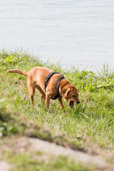 Barfing dog in meadow next to river