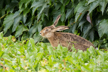 scared rabbit on meadow next to green hedge