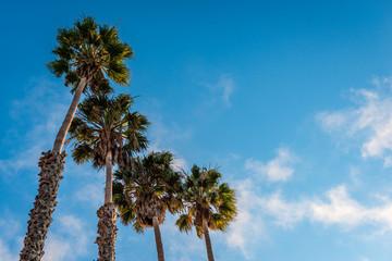Four palm trees, facing the afternoon summer sun, in Santa Cruz, California.
