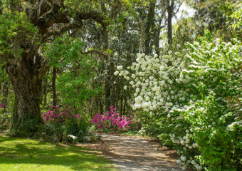 Beautiful white hydrangea flowers hanging over  footpath the park. Pathway through beautiful blooming park. Plantation and Gardens, Charleston, South Carolina, USA.