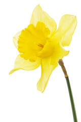 Canvas Prints Narcissus Flower of yellow Daffodil (narcissus), isolated on white background