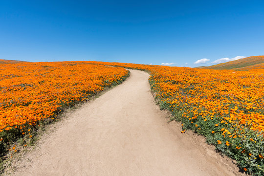 Inviting path through poppy wildflower super bloom field in Southern California.