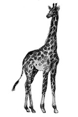 giraffe graphics. Africa. picture