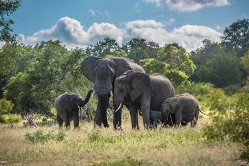 Foto op Canvas Olifant Elephants family in Kruger National Park, South Africa.