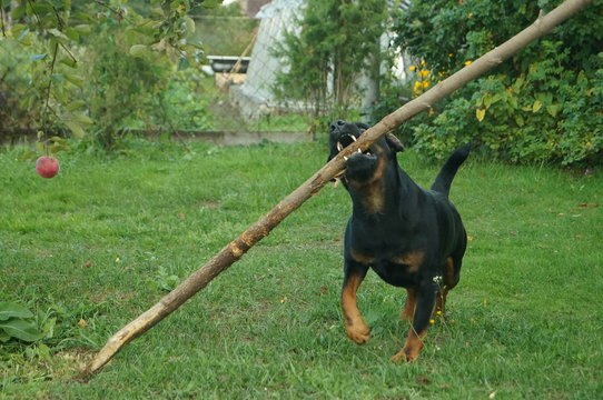 small dog playing with a huge stick