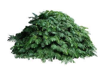 Wall Mural - Tropical leaves foliage plant jungle bush of native Monstera (Epipremnum pinnatum) liana vine plant growing in wild forest garden isolated on white background, clipping path included.