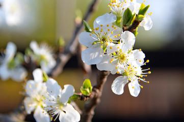 fresh white spring heartwood flower