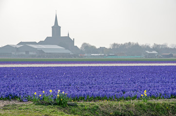 Hillegom, the Netherlands, April 2, 2019: field of mainly blueish purple hyacinths with in the background the silhouette of the church in the village of De Zilk