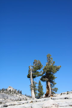 Trees against a clear blue sky at Olmsted Point Tioga Road Yosemite National Park USA