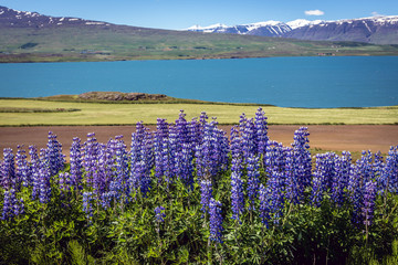 Lupinus nootkatensis over Pollurinn bay near Akureyri city in the north part of Iceland