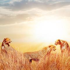 Wall Mural - Group of cheetahs in the African savannah. against beautiful sky. Tanzania, Serengeti National Park.  Wild life of Africa.