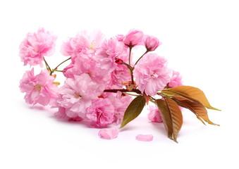 Foto op Plexiglas Azalea Spring flowers blooming isolated on white background