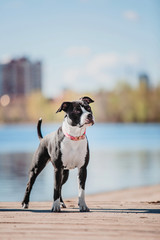 American Staffordshire Terrier dog on the beach