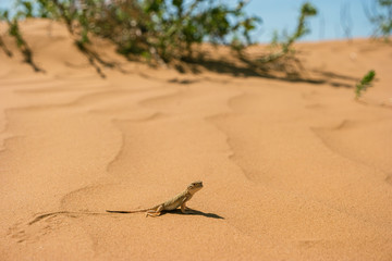 Little agamid lizard  in the desert of the Republic of Kalmykia. Phrynocephalus mystaceus is the steppe species of lizards. Wall mural