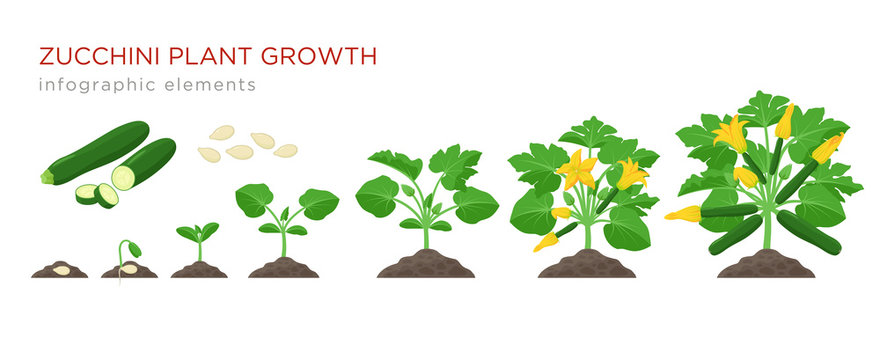 Zucchini plant growth from seed, sprout, flowering and mature plant with ripe fruits. Growing stages of squash vector illustration in flat design. Infographic elements isolated on white background.