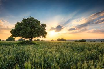 Oak in the sunset