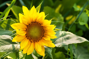 Fotobehang Zonnebloem Beautiful blooming sunflower. Bright yellow petals green leaves plant sunny day summer landscape, farmers field background