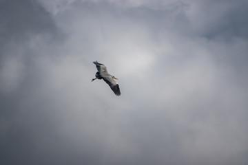 Grey Heron in Flight in Winter