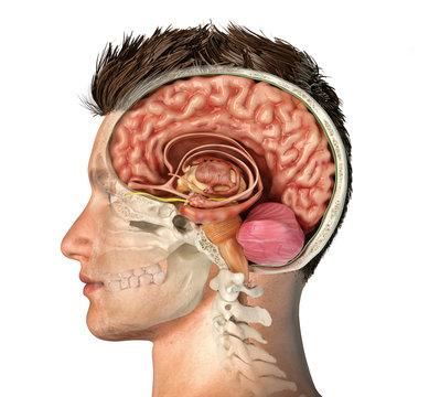 Man head with skull cross section with brain.