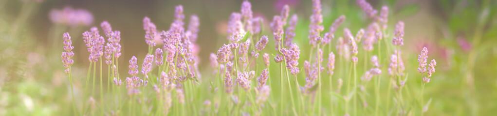 Lavendel, Blumenwiese, Panorama