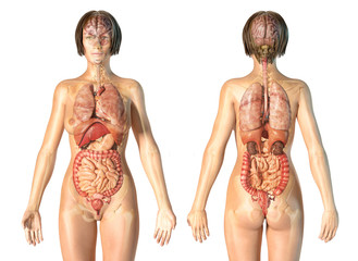 Woman anatomy internal organs, rear and front views.