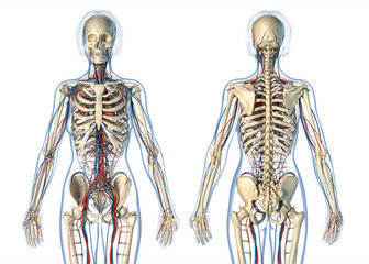 Woman anatomy cardiovascular system with skeleton, rear and front views.