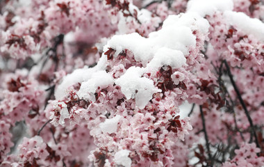 Snow-covered blossoms of a cherry tree are seen near Lindencham