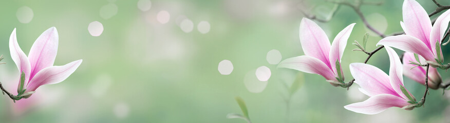 Wall Mural - Mysterious spring background with blooming magnolia flowers and glowing bokeh. Magnificent floral banner.