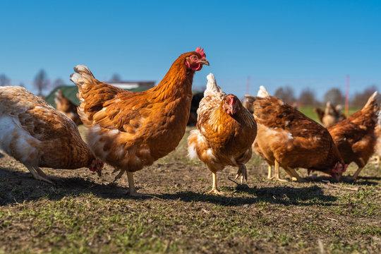 auf einer Wiese frei laufende Hühner