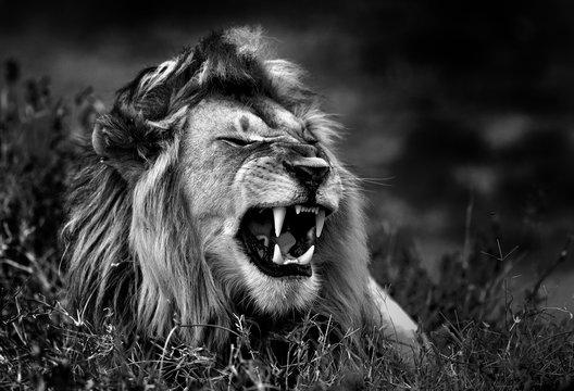 Lion in the savannah b&w