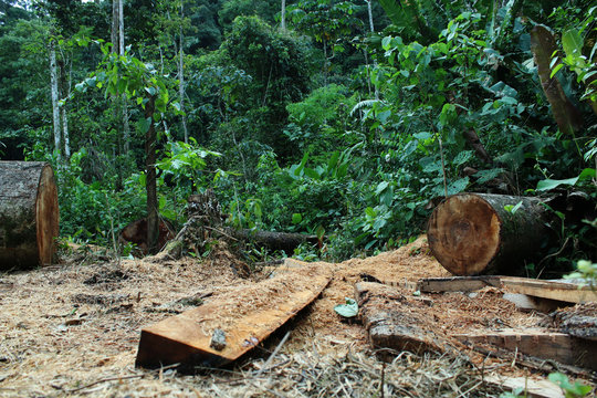 Deforestation: tree cut down and jungle or tropical forest in the background
