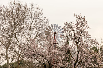 almond blossom in one of the parks of Madrid