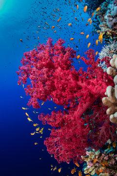 Bunte Weichkoralle am Big Brother Riff im Roten Meer in Ägypten
