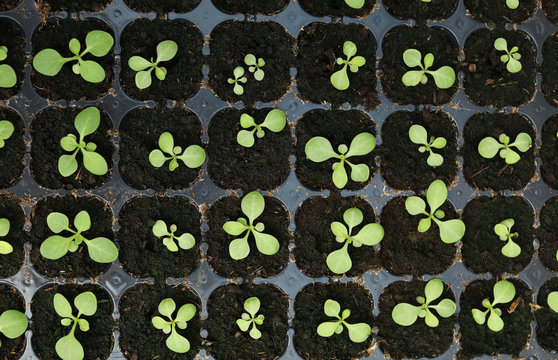 Many seedlings growing in cultivation tray, top view