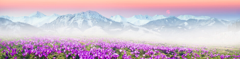 Wall Mural - Alpine crocuses in the mountain fields