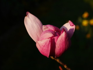 Closeup of a large pink magnolia tree flower just opening from a bud in spring