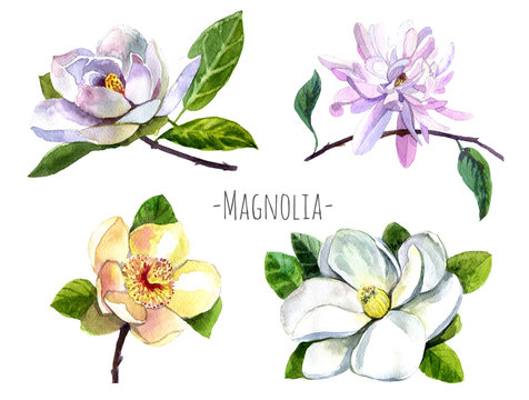 Watercolor set of magnolia flowers isolated on white. Red,yellow, white , green magnolia flowers, branch,leaves and buds isolated. Big flowers set. Big magnolia set.