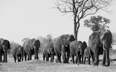 Line of elephants walking towards a waterhole in black and white with anatural background. Hwange National Park, Zimbabwe