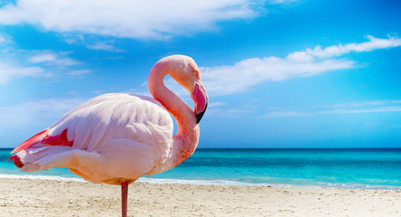 Close up photo of flamingo standing on the beach. There is clear sea and blue sky in the background. It is situated in Cuba, Caribbean. It is tropical natural background.
