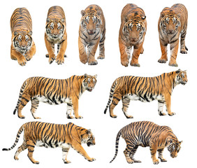 Zelfklevend Fotobehang Tijger bengal tiger isolated on white background