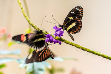 A close portrait of Malay Lacewing butterfly