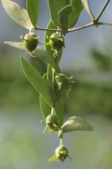 Jojoba Zweig mit Früchten