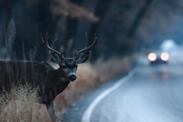 Poster Deer Male mule deer attempting to cross the road in Yosemite Valley in early morning