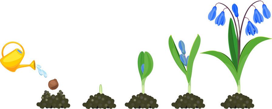Life cycle of Siberian squill or Scilla siberica. Stages of growth from planting bulb to flowering plant with green leaves and blue flowers